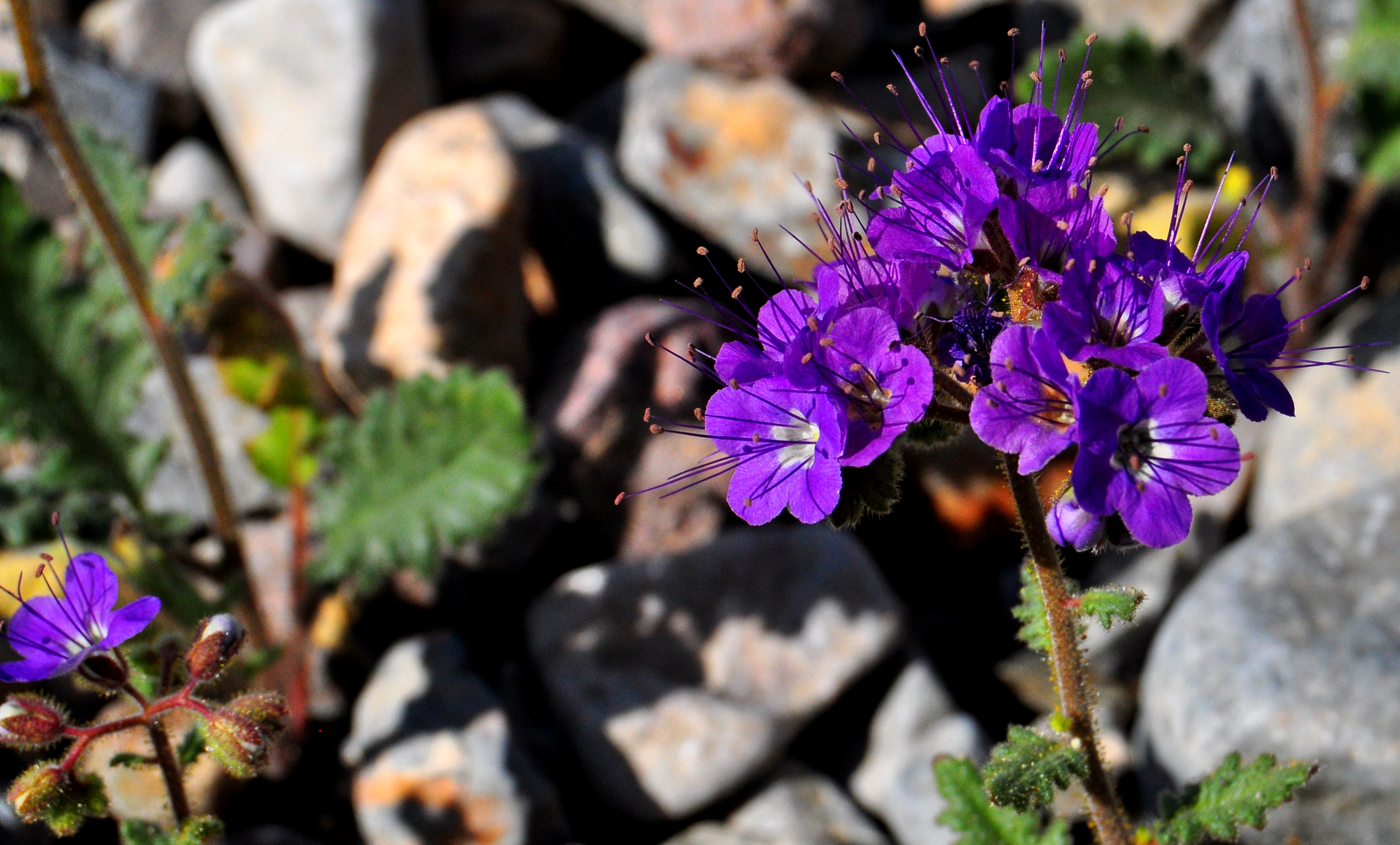 Death Valley Spring Flowers Anselan Photography